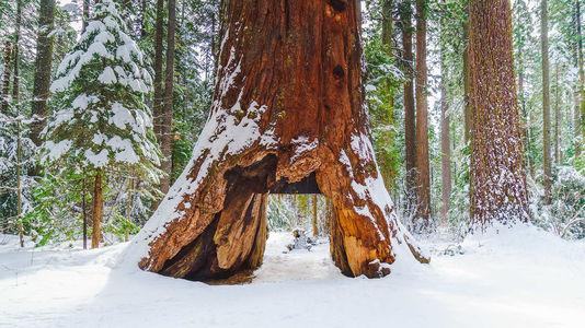 Séquoia millenaire : Pionner Cabin Tree