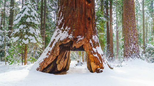 Séquoia : De Profundis