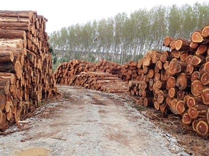 Sequoias coupés à Caunes-Minervois