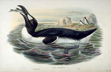 Le Grand Pingouin John Gould